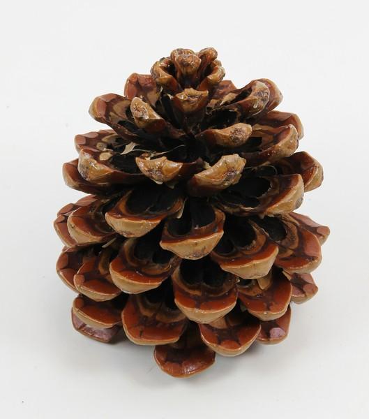 Zapfen Pinea Mittel natur lackiert SG Pinienzapfen